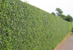 hedge-cutting-maintenance-peckham